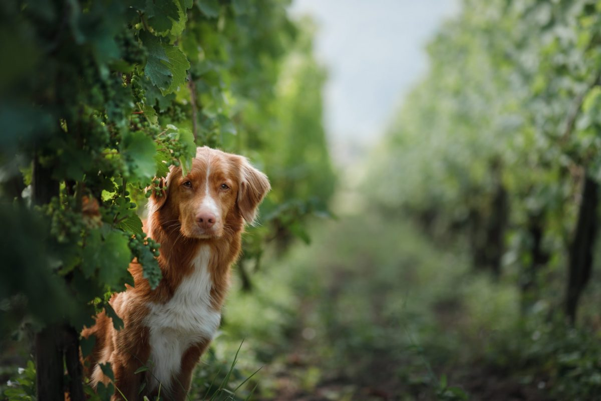 Winemaking is Going to the Dogs!