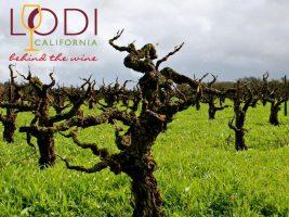 Episode #598 - Lodi Builds Its Reputation of Old Vine Preservation